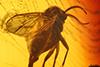 http://mczbase.mcz.harvard.edu/specimen_images/entomology/paleo/large/PALE-7978_syn1_Mycetophilidae.jpg
