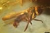 http://mczbase.mcz.harvard.edu/specimen_images/entomology/paleo/large/PALE-7980_Dolichopodidae.jpg