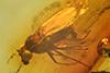 http://mczbase.mcz.harvard.edu/specimen_images/entomology/paleo/large/PALE-7988_Thrypticus_gestuosus.jpg
