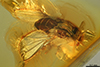 http://mczbase.mcz.harvard.edu/specimen_images/entomology/paleo/large/PALE-8004_Succinasteia_carpenteri.jpg