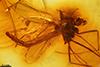 http://mczbase.mcz.harvard.edu/specimen_images/entomology/paleo/large/PALE-8016_syn2_Chironomidae.jpg