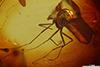 http://mczbase.mcz.harvard.edu/specimen_images/entomology/paleo/large/PALE-8019_Chironomidae.jpg