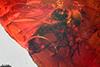 http://mczbase.mcz.harvard.edu/specimen_images/entomology/paleo/large/PALE-8027_Dolichopodidae.jpg