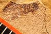 http://mczbase.mcz.harvard.edu/specimen_images/entomology/paleo/large/PALE-802_Rhepocoris_propinquans_type.jpg
