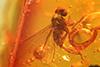 http://mczbase.mcz.harvard.edu/specimen_images/entomology/paleo/large/PALE-8049_Dolichopodidae_qm.jpg
