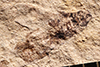 http://mczbase.mcz.harvard.edu/specimen_images/entomology/paleo/large/PALE-804_Rhepocoris_propinquans_type_2.jpg