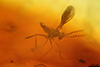 http://mczbase.mcz.harvard.edu/specimen_images/entomology/paleo/large/PALE-8067_Cecidomyiidae.jpg
