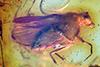 http://mczbase.mcz.harvard.edu/specimen_images/entomology/paleo/large/PALE-8089_Dolichopodidae.jpg