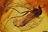 http://mczbase.mcz.harvard.edu/specimen_images/entomology/paleo/large/PALE-8098_Chironomidae.jpg