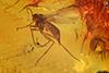 http://mczbase.mcz.harvard.edu/specimen_images/entomology/paleo/large/PALE-8176_Mycetophilidae.jpg