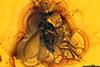 http://mczbase.mcz.harvard.edu/specimen_images/entomology/paleo/large/PALE-8182_Dolichopodidae.jpg
