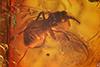 http://mczbase.mcz.harvard.edu/specimen_images/entomology/paleo/large/PALE-8183_Anisopodidae.jpg