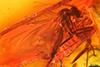 http://mczbase.mcz.harvard.edu/specimen_images/entomology/paleo/large/PALE-8189_Mycetophilidae.jpg