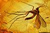 http://mczbase.mcz.harvard.edu/specimen_images/entomology/paleo/large/PALE-8191_Mycetophilidae.jpg