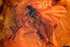 http://mczbase.mcz.harvard.edu/specimen_images/entomology/paleo/large/PALE-8192_Mycetophilidae.jpg