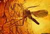 http://mczbase.mcz.harvard.edu/specimen_images/entomology/paleo/large/PALE-8196_Sciaridae.jpg