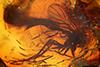 http://mczbase.mcz.harvard.edu/specimen_images/entomology/paleo/large/PALE-8199_Mycetophilidae.jpg