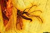 http://mczbase.mcz.harvard.edu/specimen_images/entomology/paleo/large/PALE-8201_Mycetophilidae_1.jpg