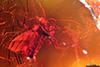 http://mczbase.mcz.harvard.edu/specimen_images/entomology/paleo/large/PALE-8203_Mycetophilidae.jpg