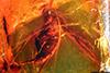 http://mczbase.mcz.harvard.edu/specimen_images/entomology/paleo/large/PALE-8204_Mycetophilidae.jpg