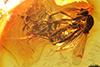 http://mczbase.mcz.harvard.edu/specimen_images/entomology/paleo/large/PALE-8217_Ceratopogonidae.jpg