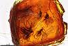 http://mczbase.mcz.harvard.edu/specimen_images/entomology/paleo/large/PALE-8282_Sciaridae.jpg