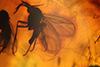 http://mczbase.mcz.harvard.edu/specimen_images/entomology/paleo/large/PALE-8282_syn1_Sciaridae.jpg