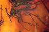 http://mczbase.mcz.harvard.edu/specimen_images/entomology/paleo/large/PALE-8282_syn2_Sciaridae.jpg