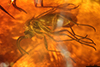 http://mczbase.mcz.harvard.edu/specimen_images/entomology/paleo/large/PALE-8282_syn5_Sciaridae.jpg