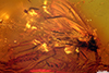 http://mczbase.mcz.harvard.edu/specimen_images/entomology/paleo/large/PALE-8283_Sciaridae.jpg