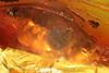 http://mczbase.mcz.harvard.edu/specimen_images/entomology/paleo/large/PALE-8294_Dolichopodidae.jpg