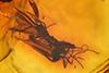 http://mczbase.mcz.harvard.edu/specimen_images/entomology/paleo/large/PALE-8305_Sciaridae.jpg