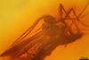 http://mczbase.mcz.harvard.edu/specimen_images/entomology/paleo/large/PALE-8305_syn1_Sciaridae.jpg