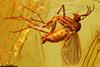http://mczbase.mcz.harvard.edu/specimen_images/entomology/paleo/large/PALE-8311_Mycetophilidae.jpg