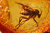 http://mczbase.mcz.harvard.edu/specimen_images/entomology/paleo/large/PALE-8312_Mycetophilidae.jpg