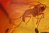 http://mczbase.mcz.harvard.edu/specimen_images/entomology/paleo/large/PALE-8320_syn2_Sciaridae.jpg