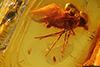 http://mczbase.mcz.harvard.edu/specimen_images/entomology/paleo/large/PALE-8322_Empididae.jpg