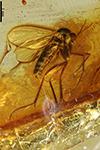 http://mczbase.mcz.harvard.edu/specimen_images/entomology/paleo/large/PALE-8331_Mycetophilidae.jpg