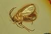 http://mczbase.mcz.harvard.edu/specimen_images/entomology/paleo/large/PALE-8343_syn2_Sciaridae.jpg