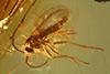 http://mczbase.mcz.harvard.edu/specimen_images/entomology/paleo/large/PALE-8343_syn3_Sciaridae.jpg