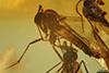 http://mczbase.mcz.harvard.edu/specimen_images/entomology/paleo/large/PALE-8343_syn4_Sciaridae.jpg