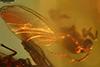 http://mczbase.mcz.harvard.edu/specimen_images/entomology/paleo/large/PALE-8343_syn6_Sciaridae.jpg