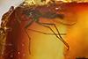 http://mczbase.mcz.harvard.edu/specimen_images/entomology/paleo/large/PALE-8349_syn2_Sciaridae.jpg