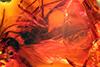 http://mczbase.mcz.harvard.edu/specimen_images/entomology/paleo/large/PALE-8357_syn2_Mycetophilidae.jpg