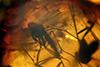 http://mczbase.mcz.harvard.edu/specimen_images/entomology/paleo/large/PALE-8361_syn2_Sciaridae.jpg
