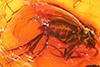 http://mczbase.mcz.harvard.edu/specimen_images/entomology/paleo/large/PALE-8365_Mycetophilidae.jpg