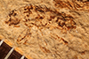 http://mczbase.mcz.harvard.edu/specimen_images/entomology/paleo/large/PALE-837_Rhepocoris_propinquans_type.jpg