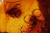 http://mczbase.mcz.harvard.edu/specimen_images/entomology/paleo/large/PALE-8382_Mycetophilidae.jpg