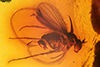http://mczbase.mcz.harvard.edu/specimen_images/entomology/paleo/large/PALE-8407_Gheynia_sp.jpg