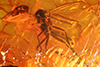 http://mczbase.mcz.harvard.edu/specimen_images/entomology/paleo/large/PALE-8409_Mycetophilidae.jpg